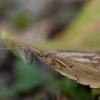 Apsiuva - Limnephilus flavicornis ♂ | Fotografijos autorius : Žilvinas Pūtys | © Macrogamta.lt | Šis tinklapis priklauso bendruomenei kuri domisi makro fotografija ir fotografuoja gyvąjį makro pasaulį.