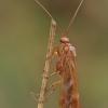 Apsiuva - Limnephilus lunatus ♂ | Fotografijos autorius : Gintautas Steiblys | © Macrogamta.lt | Šis tinklapis priklauso bendruomenei kuri domisi makro fotografija ir fotografuoja gyvąjį makro pasaulį.