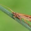 Apsiuva - Limnephilus vittatus | Fotografijos autorius : Gintautas Steiblys | © Macrogamta.lt | Šis tinklapis priklauso bendruomenei kuri domisi makro fotografija ir fotografuoja gyvąjį makro pasaulį.