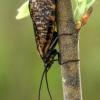 Apsiuva - Oligostomis reticulata  | Fotografijos autorius : Gintautas Steiblys | © Macrogamta.lt | Šis tinklapis priklauso bendruomenei kuri domisi makro fotografija ir fotografuoja gyvąjį makro pasaulį.