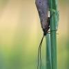 Apsiuva - Trichoptera | Fotografijos autorius : Agnė Našlėnienė | © Macrogamta.lt | Šis tinklapis priklauso bendruomenei kuri domisi makro fotografija ir fotografuoja gyvąjį makro pasaulį.