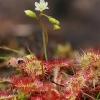 Apskritalapė saulašarė - Drosera rotundifolia | Fotografijos autorius : Gintautas Steiblys | © Macrogamta.lt | Šis tinklapis priklauso bendruomenei kuri domisi makro fotografija ir fotografuoja gyvąjį makro pasaulį.