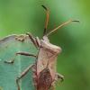 Arkliarūkštinė kampuotblakė - Coreus marginatus | Fotografijos autorius : Gintautas Steiblys | © Macrogamta.lt | Šis tinklapis priklauso bendruomenei kuri domisi makro fotografija ir fotografuoja gyvąjį makro pasaulį.