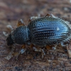 Aroninis straubliukas - Barypeithes trichopterus | Fotografijos autorius : Žilvinas Pūtys | © Macrogamta.lt | Šis tinklapis priklauso bendruomenei kuri domisi makro fotografija ir fotografuoja gyvąjį makro pasaulį.