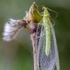 Auksaakė   Lacewing   Chrysopa sp.   Fotografijos autorius : Darius Baužys   © Macrogamta.lt   Šis tinklapis priklauso bendruomenei kuri domisi makro fotografija ir fotografuoja gyvąjį makro pasaulį.