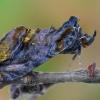 Auksadėmis žvilgūnas - Lamprotes c-aureum   Fotografijos autorius : Arūnas Eismantas   © Macrogamta.lt   Šis tinklapis priklauso bendruomenei kuri domisi makro fotografija ir fotografuoja gyvąjį makro pasaulį.