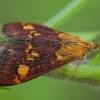 Auksaspalvė pyrausta - Pyrausta aurata | Fotografijos autorius : Žilvinas Pūtys | © Macrogamta.lt | Šis tinklapis priklauso bendruomenei kuri domisi makro fotografija ir fotografuoja gyvąjį makro pasaulį.