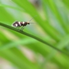 Auksuotoji dantytoji kandis - Micropterix aureatella | Fotografijos autorius : Kazimieras Martinaitis | © Macrogamta.lt | Šis tinklapis priklauso bendruomenei kuri domisi makro fotografija ir fotografuoja gyvąjį makro pasaulį.