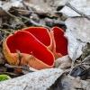 Austriškoji plačiataurė | Scarlet Elfcup | Sarcoscypha austriaca | Fotografijos autorius : Darius Baužys | © Macrogamta.lt | Šis tinklapis priklauso bendruomenei kuri domisi makro fotografija ir fotografuoja gyvąjį makro pasaulį.