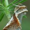 Avietinis pūkanugaris - Habrosyne pyritoides | Fotografijos autorius : Gintautas Steiblys | © Macrogamta.lt | Šis tinklapis priklauso bendruomenei kuri domisi makro fotografija ir fotografuoja gyvąjį makro pasaulį.