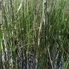 Balinis asiūklis - Equisetum fluviatile | Fotografijos autorius : Gintautas Steiblys | © Macrogamta.lt | Šis tinklapis priklauso bendruomenei kuri domisi makro fotografija ir fotografuoja gyvąjį makro pasaulį.