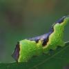 Balsvasis dviuodegis - Furcula bifida, vikšras | Fotografijos autorius : Gintautas Steiblys | © Macrogamta.lt | Šis tinklapis priklauso bendruomenei kuri domisi makro fotografija ir fotografuoja gyvąjį makro pasaulį.