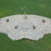 Balsvasis taškasprindis - Cyclophora albipunctata | Fotografijos autorius : Žilvinas Pūtys | © Macrogamta.lt | Šis tinklapis priklauso bendruomenei kuri domisi makro fotografija ir fotografuoja gyvąjį makro pasaulį.