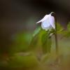 Baltažiedė plukė - Anemonoides nemorosa | Fotografijos autorius : Arūnas Eismantas | © Macrogamta.lt | Šis tinklapis priklauso bendruomenei kuri domisi makro fotografija ir fotografuoja gyvąjį makro pasaulį.