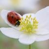 Baltažiedė plukė - Anemonoides nemorosa | Fotografijos autorius : Agnė Našlėnienė | © Macrogamta.lt | Šis tinklapis priklauso bendruomenei kuri domisi makro fotografija ir fotografuoja gyvąjį makro pasaulį.
