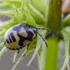 Baltadėmės urvablakės nimfa | Pied shield bug | Tritomegas bicolor | Fotografijos autorius : Darius Baužys | © Macrogamta.lt | Šis tinklapis priklauso bendruomenei kuri domisi makro fotografija ir fotografuoja gyvąjį makro pasaulį.