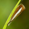 Baltadryžis samaninukas - Catoptria margaritella | Fotografijos autorius : Vidas Brazauskas | © Macrogamta.lt | Šis tinklapis priklauso bendruomenei kuri domisi makro fotografija ir fotografuoja gyvąjį makro pasaulį.