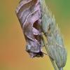 Baltajuostė eukarta - Eucarta virgo | Fotografijos autorius : Arūnas Eismantas | © Macrogamta.lt | Šis tinklapis priklauso bendruomenei kuri domisi makro fotografija ir fotografuoja gyvąjį makro pasaulį.