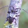 Baltajuostis žabinukas - Pogonocherus hispidulus | Fotografijos autorius : Romas Ferenca | © Macrogamta.lt | Šis tinklapis priklauso bendruomenei kuri domisi makro fotografija ir fotografuoja gyvąjį makro pasaulį.