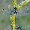 Baltakaktė skėtė - Leucorrhinia albifrons   Fotografijos autorius : Deividas Makavičius   © Macrogamta.lt   Šis tinklapis priklauso bendruomenei kuri domisi makro fotografija ir fotografuoja gyvąjį makro pasaulį.