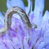 Baltasis sprindytis - Eupithecia centaureata, vikšras | Fotografijos autorius : Gintautas Steiblys | © Macrogamta.lt | Šis tinklapis priklauso bendruomenei kuri domisi makro fotografija ir fotografuoja gyvąjį makro pasaulį.