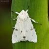 Baltasis strėlinukas - Acronicta leporina | Fotografijos autorius : Žilvinas Pūtys | © Macrogamta.lt | Šis tinklapis priklauso bendruomenei kuri domisi makro fotografija ir fotografuoja gyvąjį makro pasaulį.