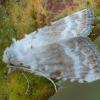 Baltoji nolija - Meganola albula | Fotografijos autorius : Žilvinas Pūtys | © Macrogamta.lt | Šis tinklapis priklauso bendruomenei kuri domisi makro fotografija ir fotografuoja gyvąjį makro pasaulį.