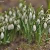 Baltoji snieguolė - Galanthus nivalis | Fotografijos autorius : Kęstutis Obelevičius | © Macrogamta.lt | Šis tinklapis priklauso bendruomenei kuri domisi makro fotografija ir fotografuoja gyvąjį makro pasaulį.