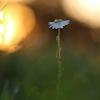 Bekvapis šunramunis - Tripleurospermum inodorum | Fotografijos autorius : Agnė Našlėnienė | © Macrogamta.lt | Šis tinklapis priklauso bendruomenei kuri domisi makro fotografija ir fotografuoja gyvąjį makro pasaulį.