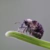 Bervidinis straubliukas - Cionus scrophulariae | Fotografijos autorius : Agnė Našlėnienė | © Macrogamta.lt | Šis tinklapis priklauso bendruomenei kuri domisi makro fotografija ir fotografuoja gyvąjį makro pasaulį.