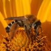 Bitė ? | Fotografijos autorius : Vytautas Gluoksnis | © Macrogamta.lt | Šis tinklapis priklauso bendruomenei kuri domisi makro fotografija ir fotografuoja gyvąjį makro pasaulį.