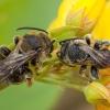 Bitė - Macropis fulvipes ♂   Fotografijos autorius : Žilvinas Pūtys   © Macrogamta.lt   Šis tinklapis priklauso bendruomenei kuri domisi makro fotografija ir fotografuoja gyvąjį makro pasaulį.