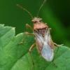 Raudonpilvė kampuotblakė - Rhopalus parumpunctatus | Fotografijos autorius : Vidas Brazauskas | © Macrogamta.lt | Šis tinklapis priklauso bendruomenei kuri domisi makro fotografija ir fotografuoja gyvąjį makro pasaulį.