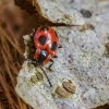 Boružiškasis pelėsvabalis - Endomychus coccineus | Fotografijos autorius : Kazimieras Martinaitis | © Macrogamta.lt | Šis tinklapis priklauso bendruomenei kuri domisi makro fotografija ir fotografuoja gyvąjį makro pasaulį.