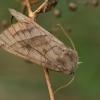 Bulvinis pelėdgalvis - Hydraecia micacea   Fotografijos autorius : Gintautas Steiblys   © Macrogamta.lt   Šis tinklapis priklauso bendruomenei kuri domisi makro fotografija ir fotografuoja gyvąjį makro pasaulį.