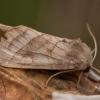 Bulvinis pelėdgalvis - Hydraecia micacea   Fotografijos autorius : Žilvinas Pūtys   © Macrogamta.lt   Šis tinklapis priklauso bendruomenei kuri domisi makro fotografija ir fotografuoja gyvąjį makro pasaulį.