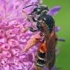 Buožaininė smėliabitė - Andrena hattorfiana | Fotografijos autorius : Gintautas Steiblys | © Macrogamta.lt | Šis tinklapis priklauso bendruomenei kuri domisi makro fotografija ir fotografuoja gyvąjį makro pasaulį.