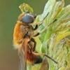 Žalutė - Cheilosia grossa | Fotografijos autorius : Gintautas Steiblys | © Macrogamta.lt | Šis tinklapis priklauso bendruomenei kuri domisi makro fotografija ir fotografuoja gyvąjį makro pasaulį.