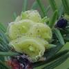 Chermesas - Adelges abietis, gumbas   Fotografijos autorius : Gintautas Steiblys   © Macrogamta.lt   Šis tinklapis priklauso bendruomenei kuri domisi makro fotografija ir fotografuoja gyvąjį makro pasaulį.