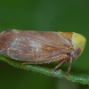 Cikadėlė - Pediopsis tiliae | Fotografijos autorius : Žilvinas Pūtys | © Macrogamta.lt | Šis tinklapis priklauso bendruomenei kuri domisi makro fotografija ir fotografuoja gyvąjį makro pasaulį.