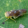 Cikadėlė - Populicerus laminatus | Fotografijos autorius : Romas Ferenca | © Macrogamta.lt | Šis tinklapis priklauso bendruomenei kuri domisi makro fotografija ir fotografuoja gyvąjį makro pasaulį.