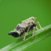 Cikada - Dicranotropis hamata | Fotografijos autorius : Vidas Brazauskas | © Macrogamta.lt | Šis tinklapis priklauso bendruomenei kuri domisi makro fotografija ir fotografuoja gyvąjį makro pasaulį.