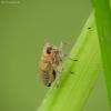 Cikada - Delphacidae | Fotografijos autorius : Vidas Brazauskas | © Macrogamta.lt | Šis tinklapis priklauso bendruomenei kuri domisi makro fotografija ir fotografuoja gyvąjį makro pasaulį.