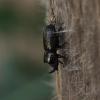 Cilindriškasis elniavabalis - Sinodendron cylindricum | Fotografijos autorius : Giedrius Markevičius | © Macrogamta.lt | Šis tinklapis priklauso bendruomenei kuri domisi makro fotografija ir fotografuoja gyvąjį makro pasaulį.