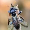 Beržinis cimbeksas - Cimbex femoratus. | Fotografijos autorius : Arūnas Eismantas | © Macrogamta.lt | Šis tinklapis priklauso bendruomenei kuri domisi makro fotografija ir fotografuoja gyvąjį makro pasaulį.