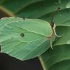 Citrinukas - Gonepteryx rhamni   Fotografijos autorius : Gintautas Steiblys   © Macrogamta.lt   Šis tinklapis priklauso bendruomenei kuri domisi makro fotografija ir fotografuoja gyvąjį makro pasaulį.