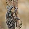 Dagilinis straubliukas - Cleonis pigra | Fotografijos autorius : Gintautas Steiblys | © Macrogamta.lt | Šis tinklapis priklauso bendruomenei kuri domisi makro fotografija ir fotografuoja gyvąjį makro pasaulį.