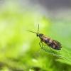 Daugiajuostė dantytoji kandis - Micropterix tunbergella | Fotografijos autorius : Kazimieras Martinaitis | © Macrogamta.lt | Šis tinklapis priklauso bendruomenei kuri domisi makro fotografija ir fotografuoja gyvąjį makro pasaulį.