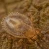 Erkė - Dermanyssus sp. | Fotografijos autorius : Povilas Sakalauskas | © Macrogamta.lt | Šis tinklapis priklauso bendruomenei kuri domisi makro fotografija ir fotografuoja gyvąjį makro pasaulį.