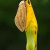 Didysis apyninis šakniagraužis - Hepialus humuli ♀ | Fotografijos autorius : Žilvinas Pūtys | © Macrogamta.lt | Šis tinklapis priklauso bendruomenei kuri domisi makro fotografija ir fotografuoja gyvąjį makro pasaulį.